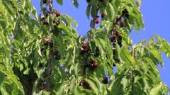 Cherries , cherry tree Stock Footage