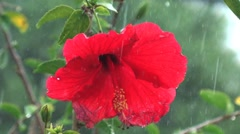 Weather closup of red hibiscus flower in rainstorm 1 h264 Stock Footage