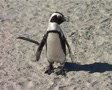 African Penguin Stands and then Walks Off, Cape Town GFSD Footage