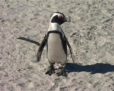 African Penguin Stands and then Walks Off, Cape Town GFSD Stock Footage