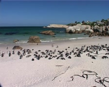 African Penguins at Boulders WS, Cape Town GFSD Stock Footage