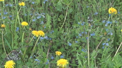 Close-up clip of dandelions and forget-me-nots at the spring field. Stock Footage