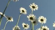 Daisy beautiful flower Stock Footage