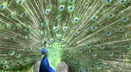 Stock Video Footage of Indian Peafowl