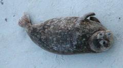 Seal Fidgets, claps Stock Footage