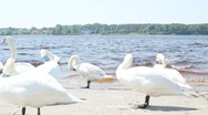 White swans on the riverside Stock Footage