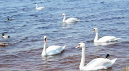 White swans on the river Stock Footage