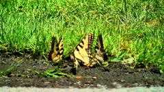 Butterflies 01 Stock Footage