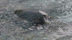 Sea Turtle Eating SeaWeed Stock Footage