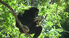 Gibbon in a tree Monkey Ape in Forest Rainforest Endangered Species Stock Footage