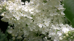 White lilac - close up. Stock Footage