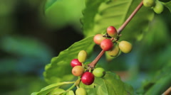 CU green and red coffee beans PAN:RACK to MS coffee tree Stock Footage