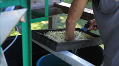 MS man washing white beans - stock footage