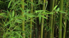 139 0423 01 Bamboo Trees Stock Footage