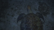 Stock Video Footage of Green turtle at night