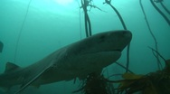 SEVEN (7) GILL SHARKS  - KELP FOREST Stock Footage