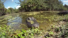 AMERICAN ALLIGATORS - FLORIDA EVERGLADES - stock footage