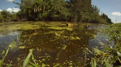 AMERICAN ALLIGATORS - FLORIDA EVERGLADES Stock Footage