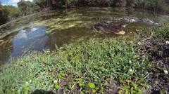AMERICAN ALLIGATORS - FLORIDA EVERGLADES Stock Footage