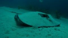 STINGRAY - BAHAMAS Stock Footage