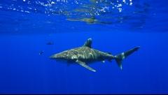 OCEANIC WHITE TIP SHARKS - BAHAMAS Stock Footage