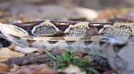 Red-Tailed Boa in the Forest HD Stock Footage