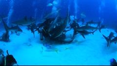 CARIBBEAN REEF SHARKS & DIVERS - BAHAMAS Stock Footage