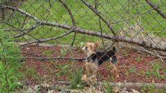 Pieni haukkuva koira Arkistovideo
