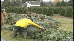Christmas tree harvest Stock Footage