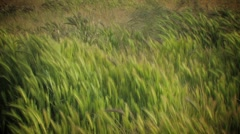 Grass Blowing in the Wind - stock footage