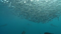 ATLANTIC SAILFISH - HUNTING SARDINE BAIT BALLS - stock footage