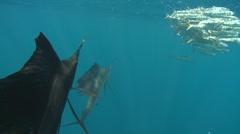ATLANTIC SAILFISH - HUNTING SARDINE BAIT BALLS - stock footage