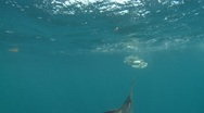 ATLANTIC SAILFISH - HUNTING SARDINE BAIT BALLS Stock Footage