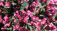 Red bush flowers Stock Footage