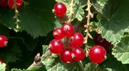 Stock Video Footage of Ribes rubrum redcurrent