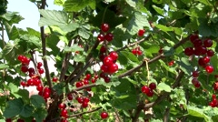 Ribes rubrum redcurrent Stock Footage