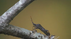 Leaffooted Bug Pest Georgia Stock Footage