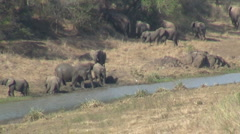Herd of elephants drinking at riverside Stock Footage