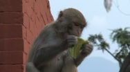Stock Video Footage of Monkeys