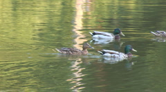 Stock Video Footage of Wild Ducks