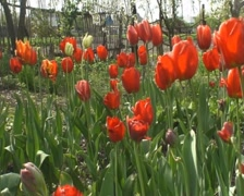 A lot of red tulips - stock footage