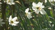 Daffodils Stock Footage