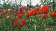 Flowers on behalf of the tulips Stock Footage