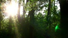 Spring forest in sunset and poplar seed tufts Stock Footage