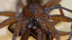 Dolomedes plantarius holding prey Stock Footage