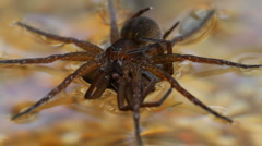 Dolomedes plantarius with prey Stock Footage