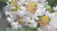 Stock Video Footage of Close-up of white blooms