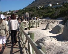 Walkway at Penguin Colony near Boulders, Cape Town GFSD Stock Footage