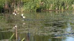 duck in flight - stock footage