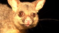 Australian Brushtail Possum - stock footage
